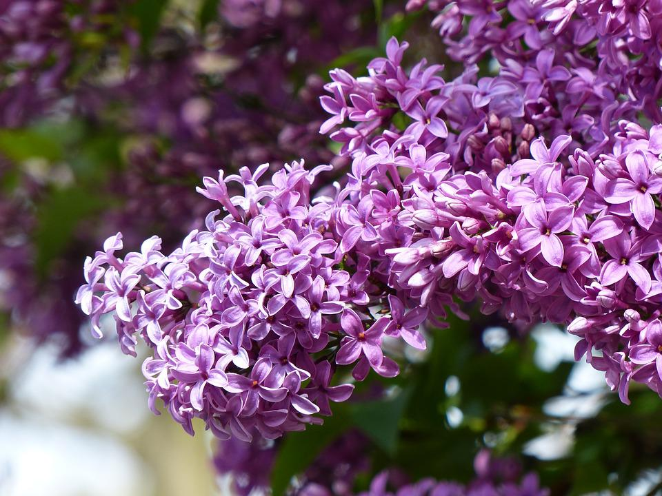 Lilac, Spring, Nature