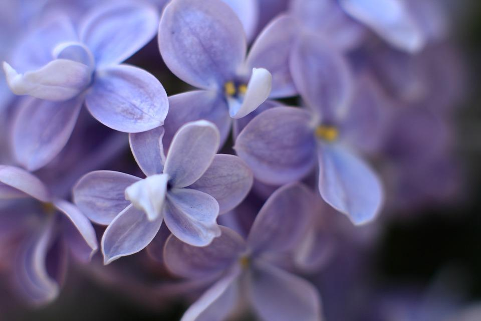 Lilac, Purple, Plant, Flowers, Garden, Bloom, Spring