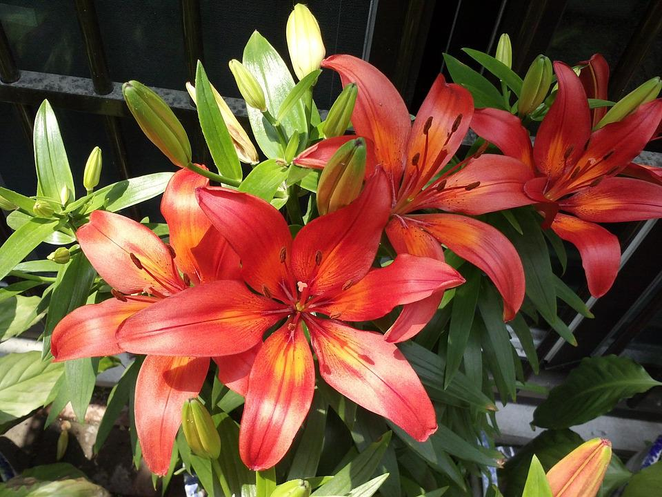 Lily, Plants, Garden, Spring, Colorful, Outdoor, Nature