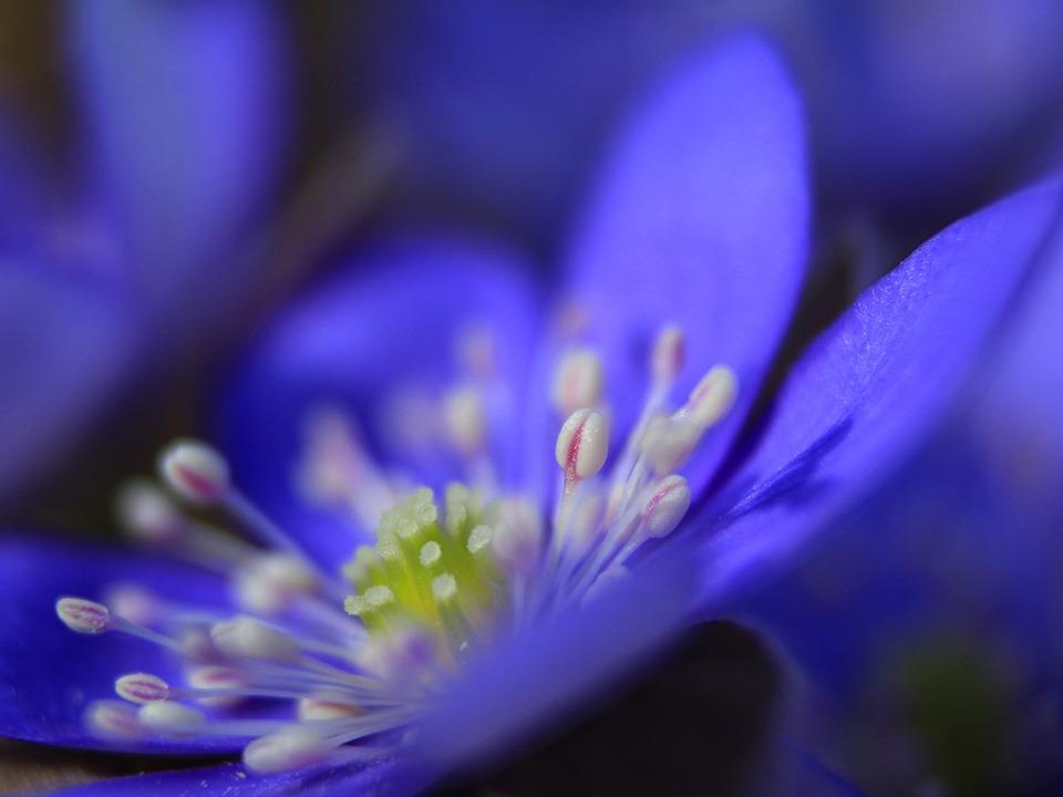 Flower, Spring, Liverwort, Nature, Blossom, Hepatica