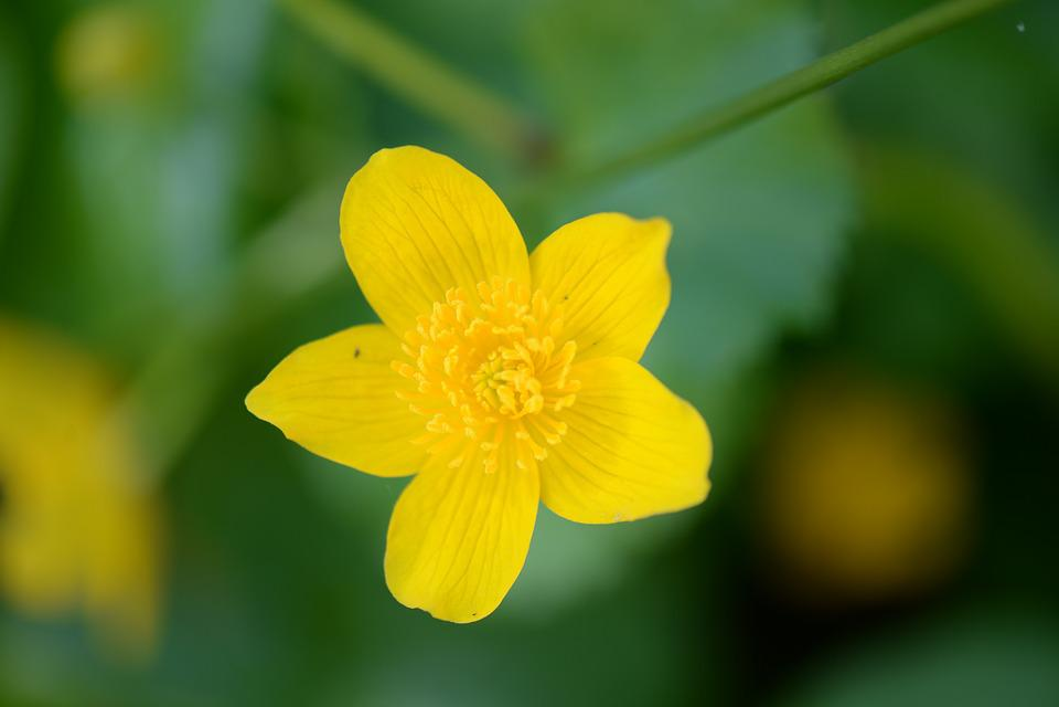 Caltha Palustris, Macro, Blossom, Bloom, Spring