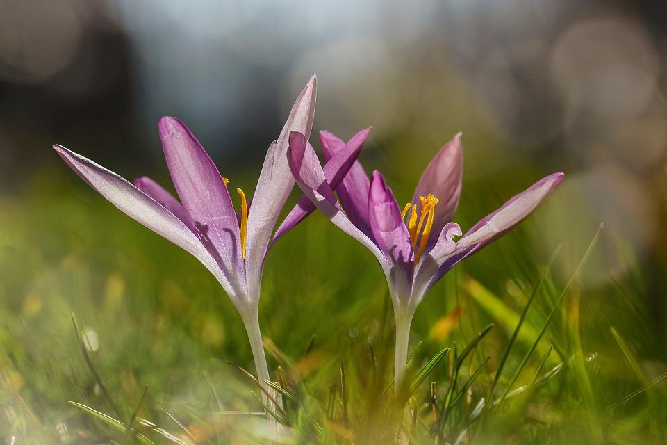Crocus, Wild, Purple, Violet, Spring Magic, Nature