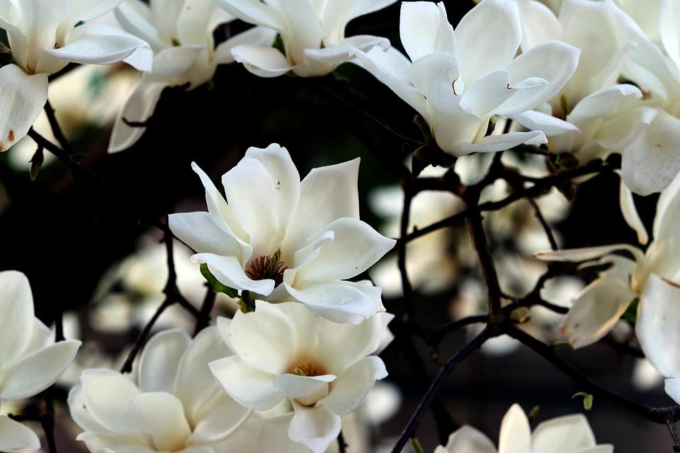 Magnolia, Flower, Spring, Nature