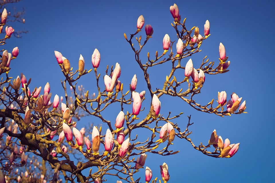 Free Photo Spring Magnolia Tree Flowers Blossom Bloom Nature Max Pixel