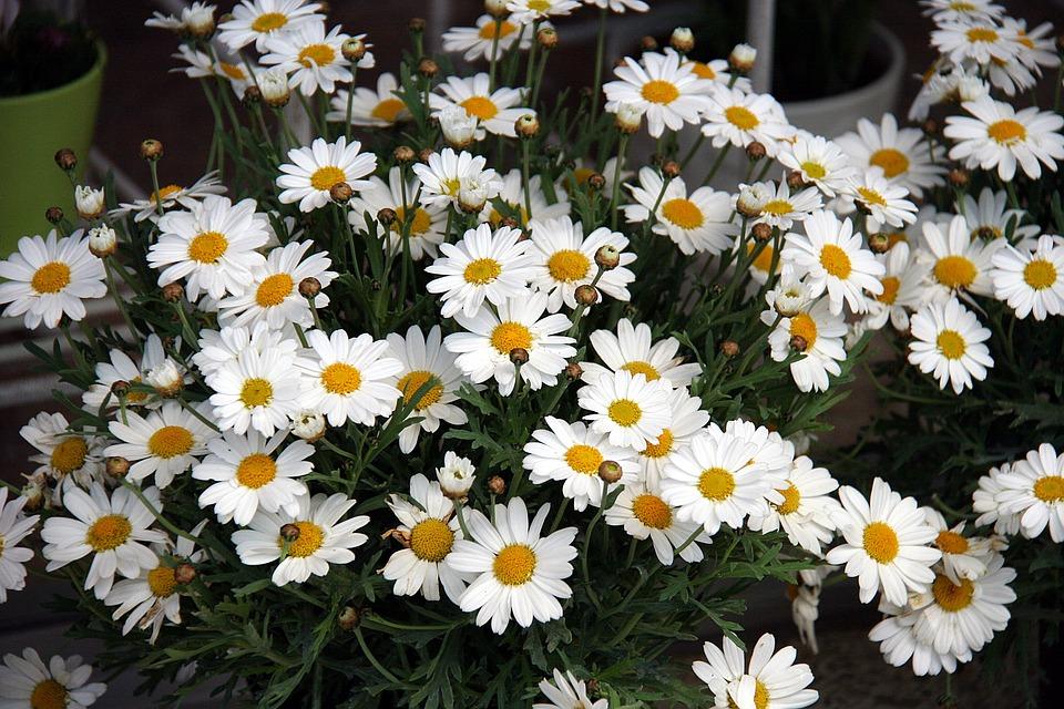 Margaretas, Flowers, Spring