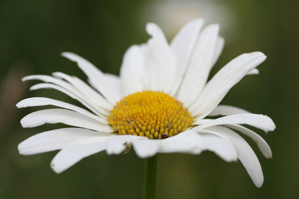 Flower, Marguerite, Nature, Petals, Spring, Country