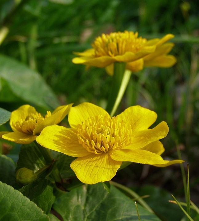 Your Marigolds, Spring, Flower, Marsh Marigold Mud