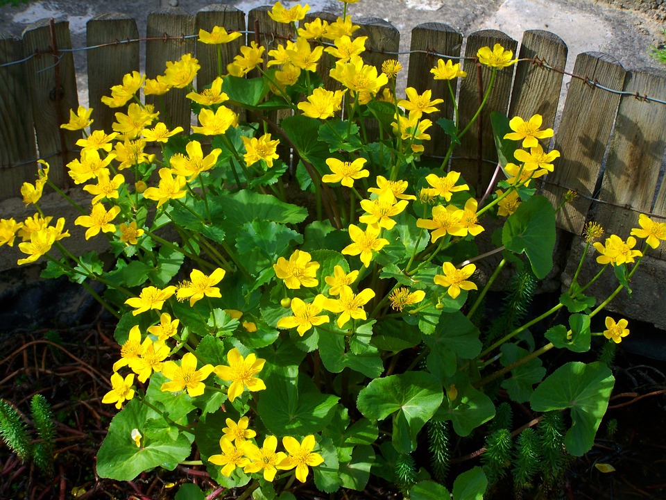 Marsh Marigold, Yellow Flower, Spring