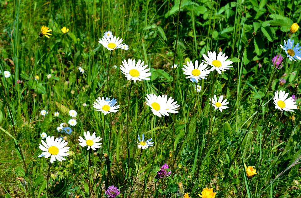 Meadow, Spring, Flowers, Daisies