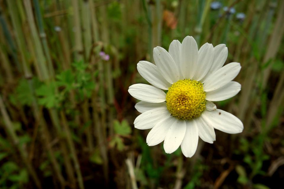 Flower, Chamomile, Field, Meadow, Nature, Grass, Spring