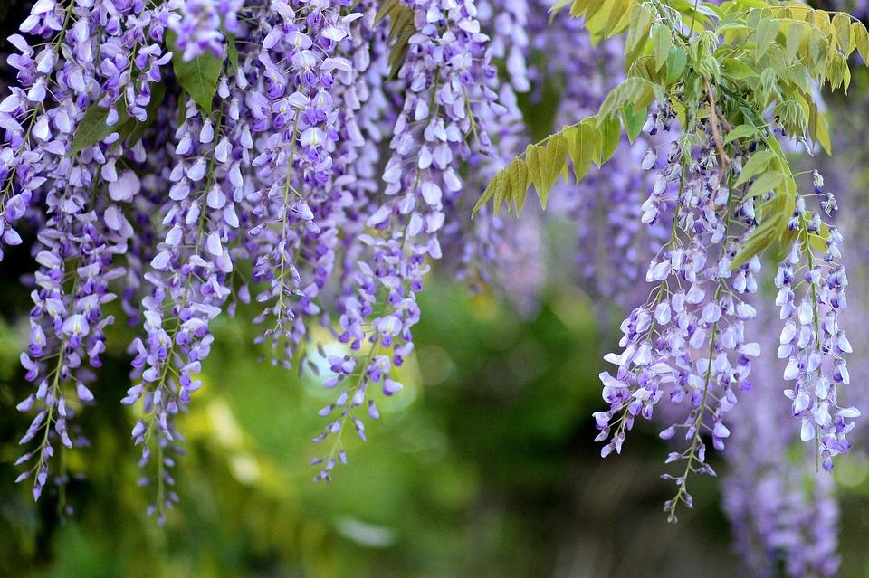 Acacia, Glycine, Wisteria, Flowers, Tree, Mov, Spring