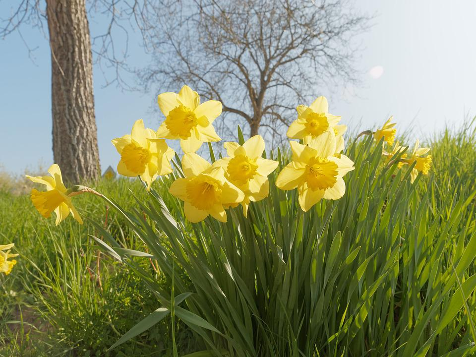 Free photo spring narcissus yellow flowers daffodils flowers max pixel daffodils narcissus flowers spring yellow flowers mightylinksfo