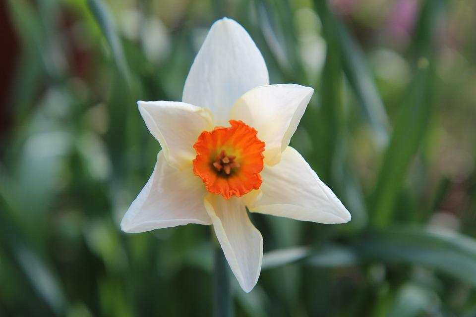 Narcissus, Narcissus White, Spring, Narcissus Yellow