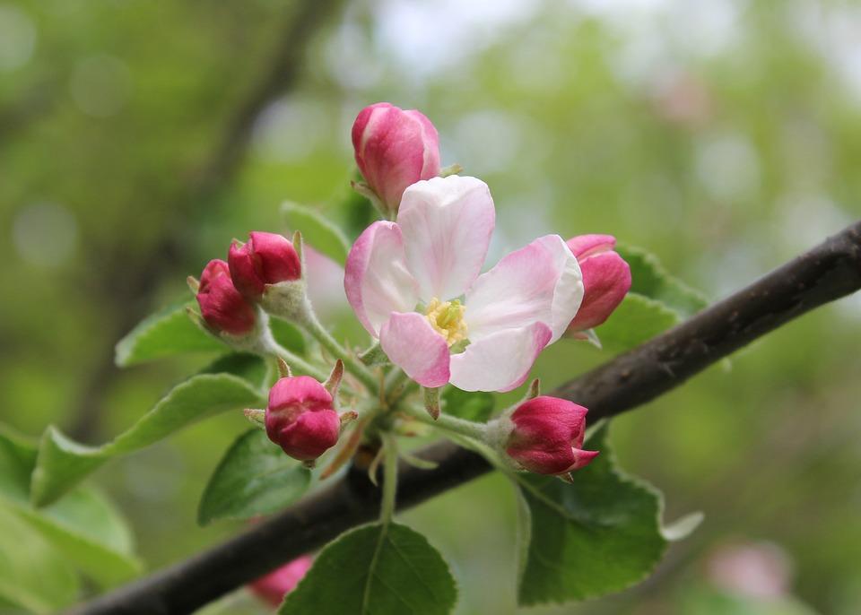 Flowers, Bloom, Tree, Spring, Pink, Apple Tree, Nature