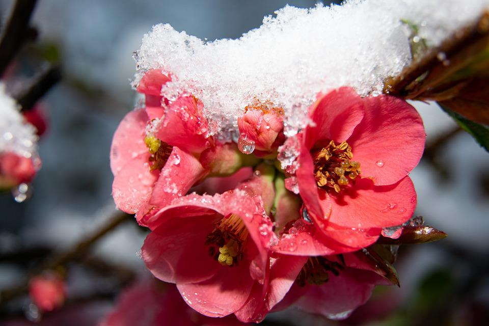 Flower, Snow, Nature, Spring, Bloom