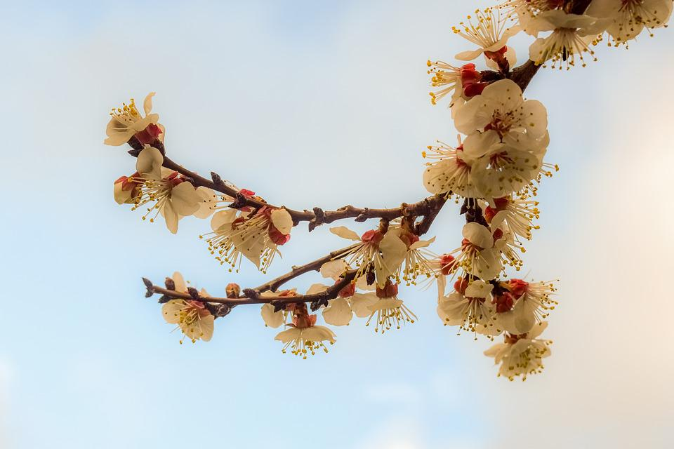 Almond Tree, Flowers, Spring, Bloom, Nature, Blossom