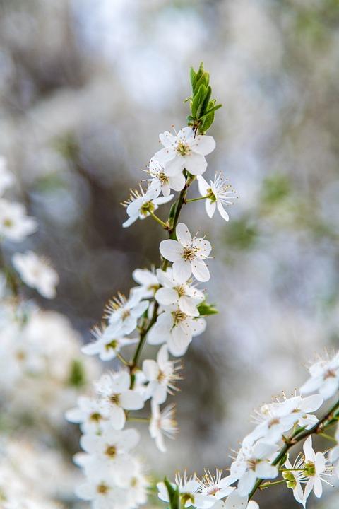 Nature, Tree, Flower, White, Cherry, Spring