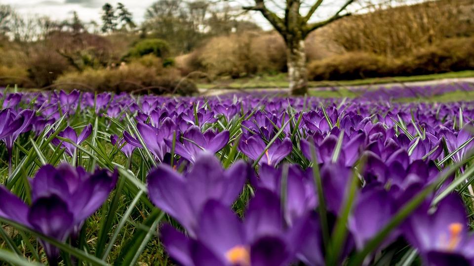 Crocuses, Flowers, Spring, Nature, Bloom, Flora, Purple