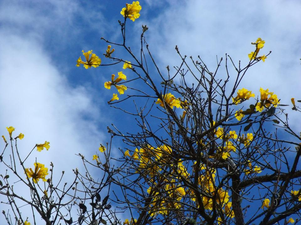 Ipê, Yellow, Flora, Flowers, Spring, Nature, Day
