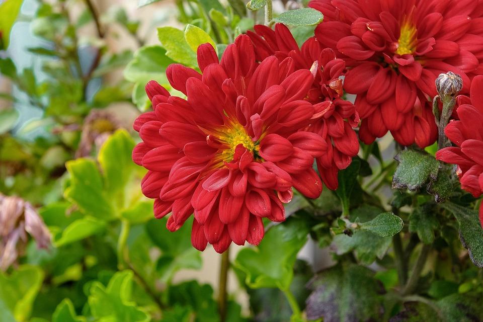 Spring, Flower, Chrysanthemum, Nature