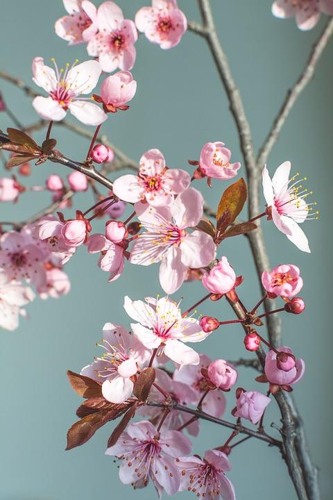 Spring, Flower, Nature, Cherry Blossom, Spring Flowers