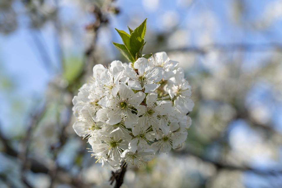 Flowers, Flower, Nature, Spring, Flowering, Cherry
