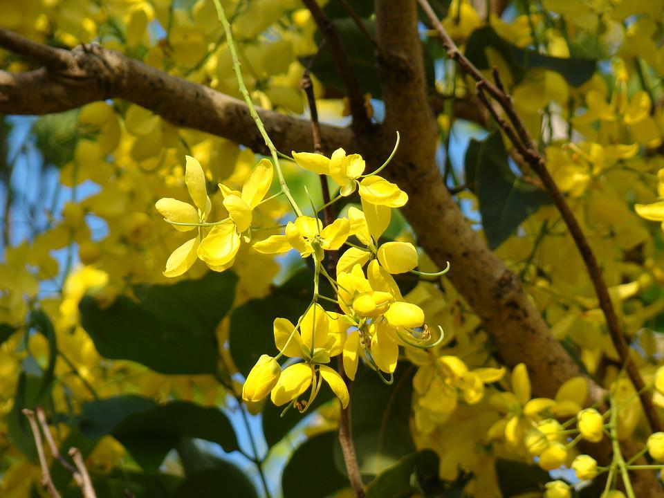 Free Photo Spring Nature Flowers Bloom Tree Australia Yellow Max Pixel