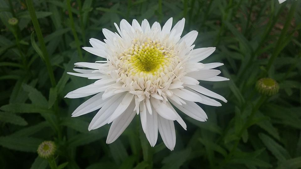 free photo spring nature flowers blossom white daisy  max pixel, Beautiful flower