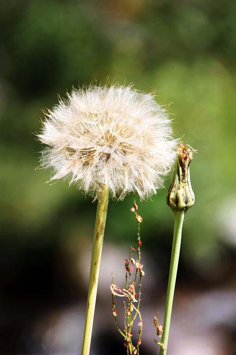 Flowers, Nature, Dandelion, Spring, Foreground