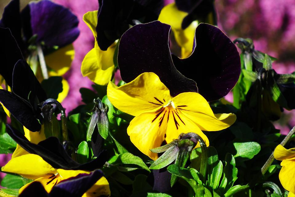 Pansies, Spring, Nature, Flowers, Garden, Closeup