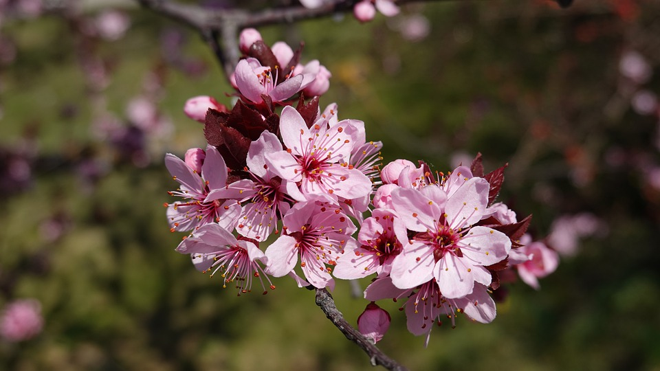 Nature, Flowers, Spring, Close Up, Pink
