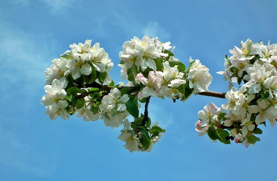 Flower, Plant, Branch, Apple, Nature, Petal, Spring