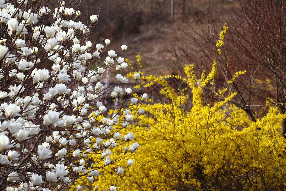 Flowers, Season, Nature, Plants, Wood, Spring, Magnolia