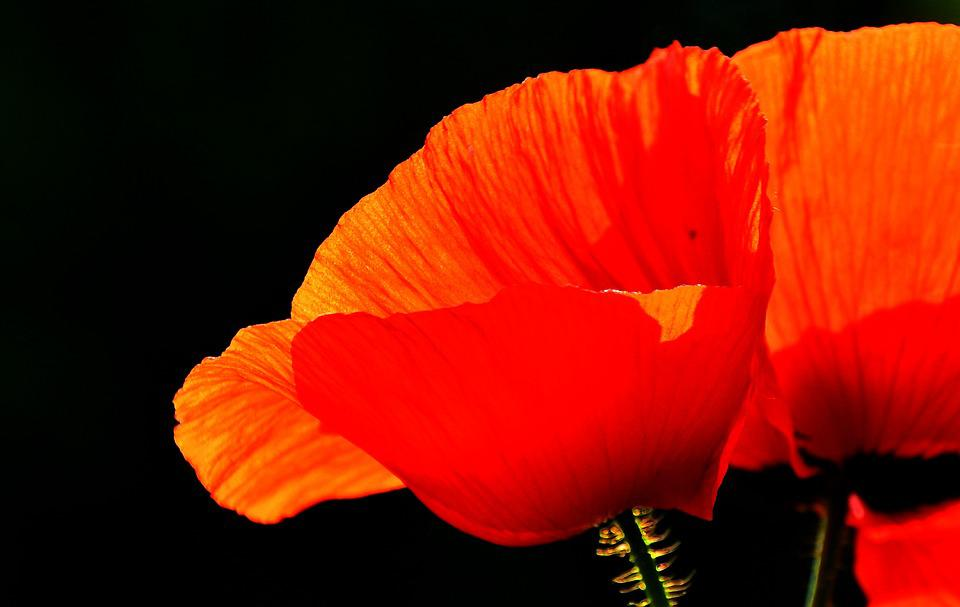 Spring, Nature, Poppy, Meadow Flower