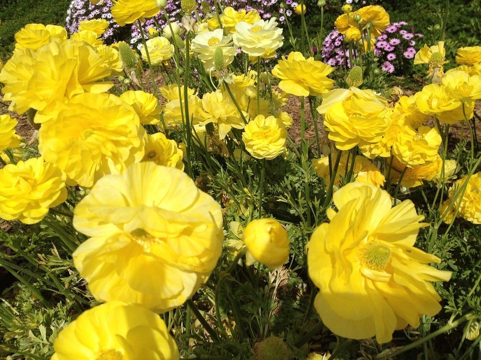 Ranunculus, Flowers, Nature, Blossom, Floral, Spring