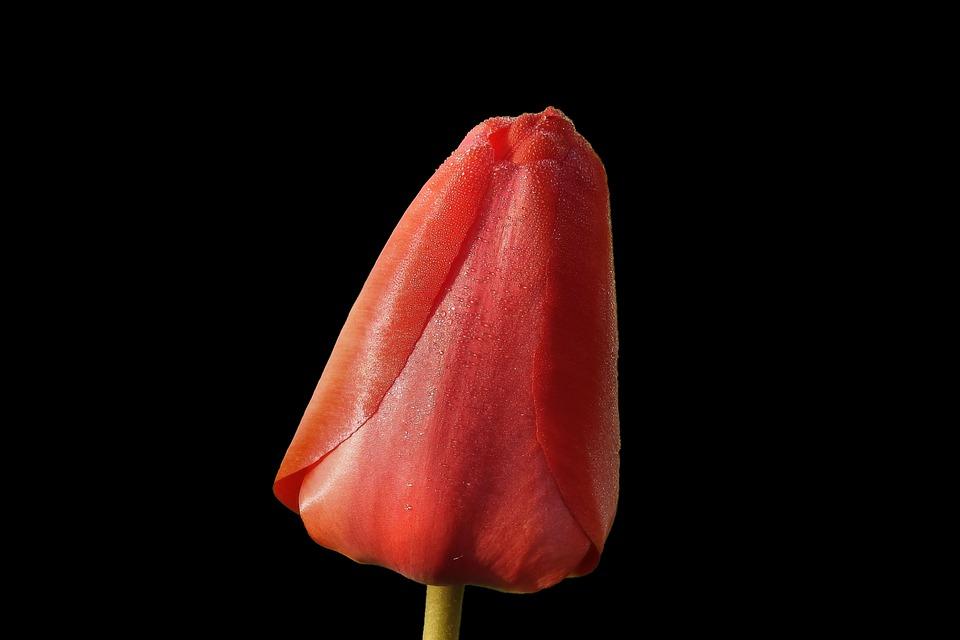 Tulip, Red, Spring, Nature, Bloom