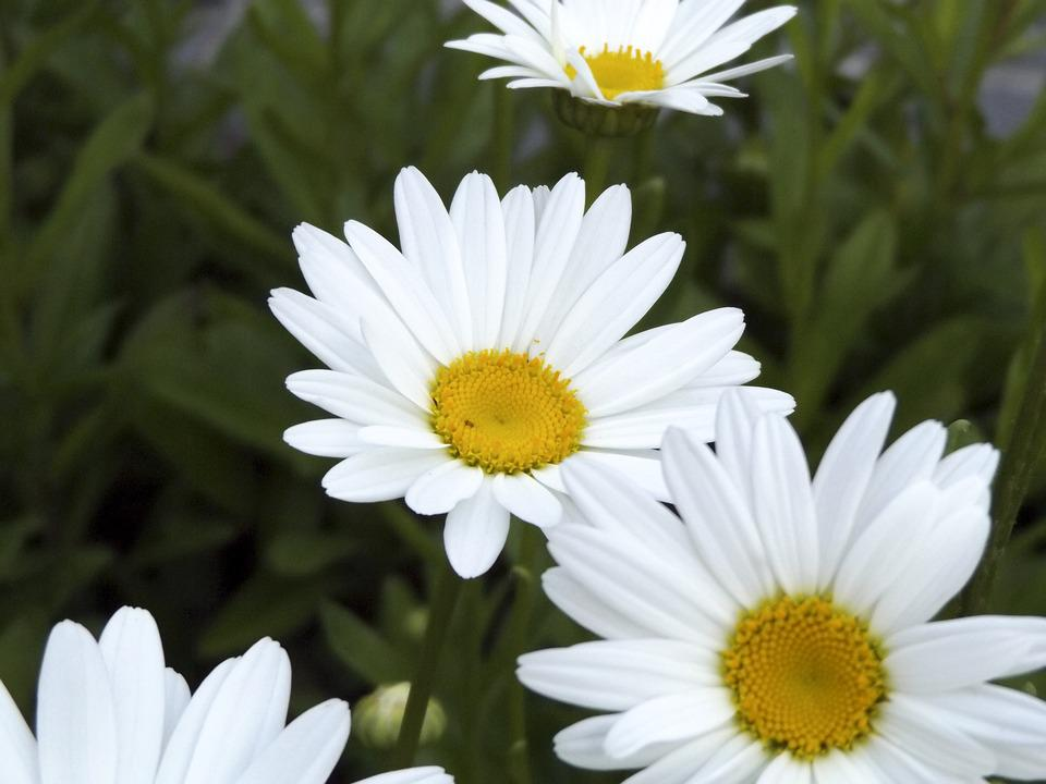 Daisy, Daisies, Flowers, Nature, Bloom, Summer, Spring
