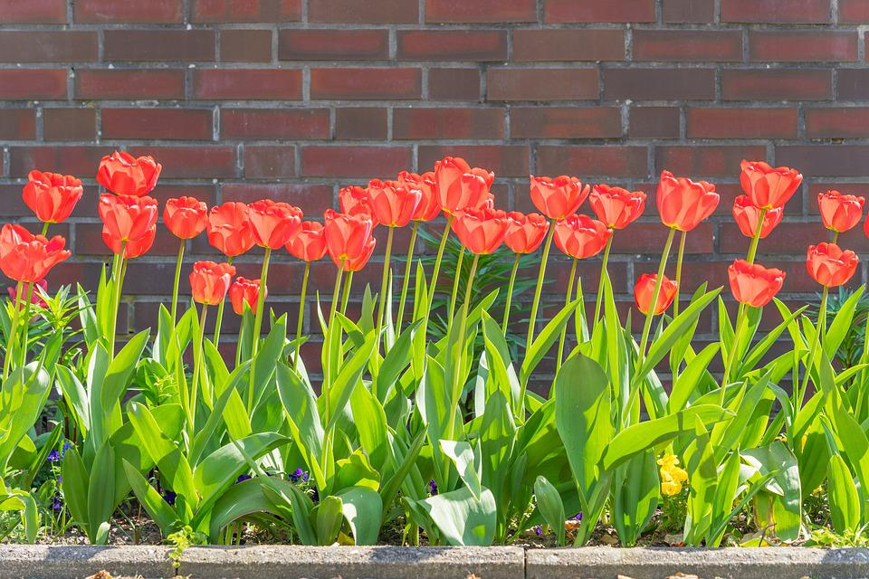 Tulips, Spring, Flowers, Garden, Nature, Flora, Plant