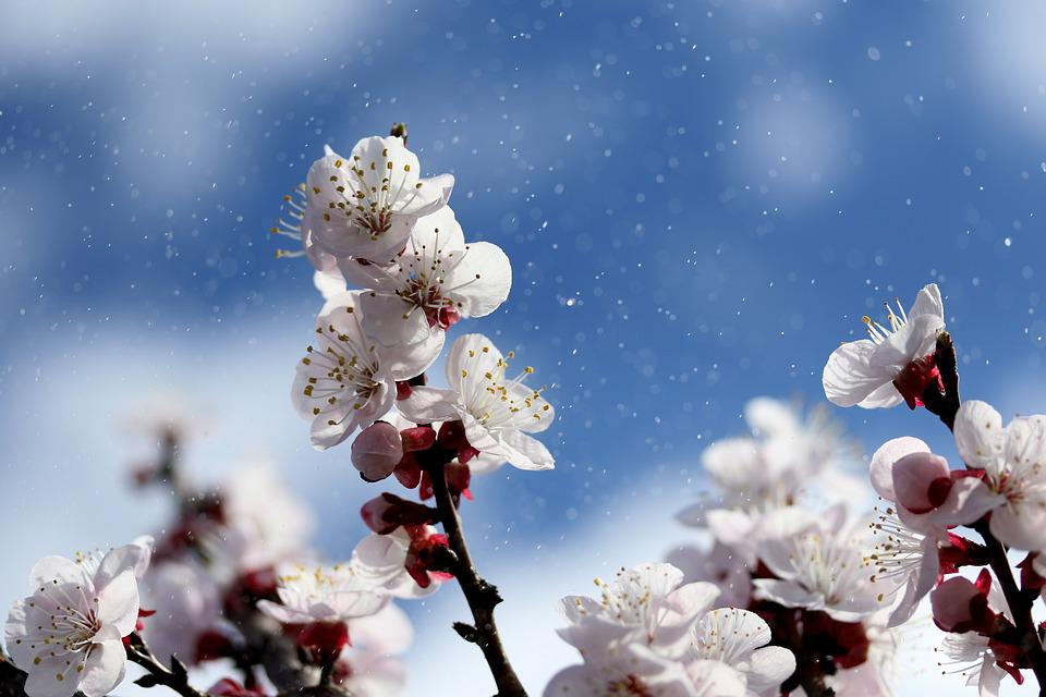 Flowers, White, Spring, Tree, Nature, Plants, Bloom