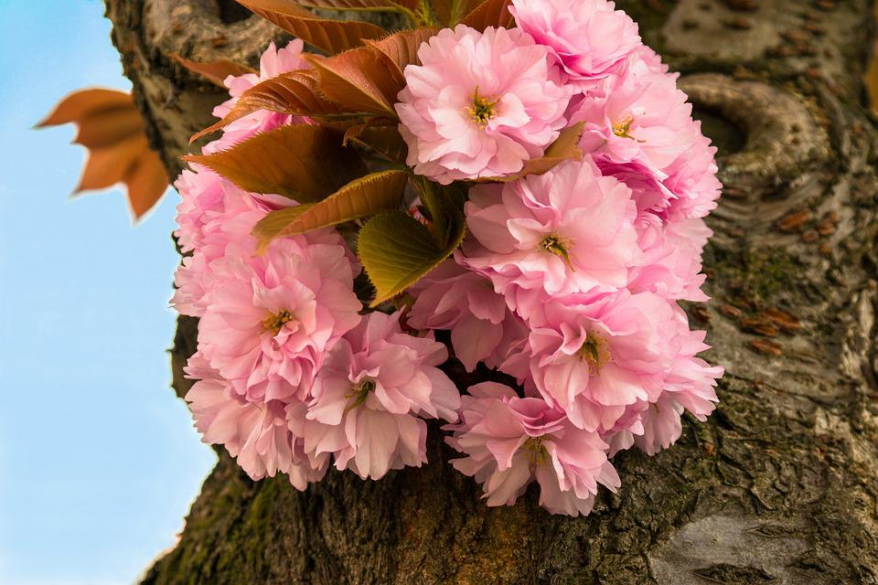 Cherry Blossom, Cherry, Ornamental Cherry, Spring