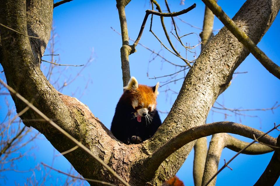 Panda, Hellabrunn, Zoo, Red Panda, Spring, Munich