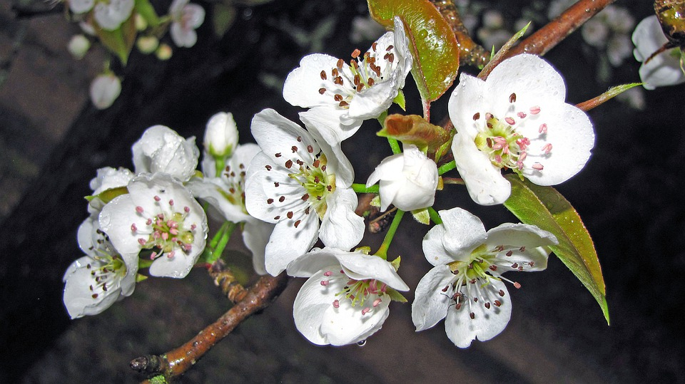 Pear, Blossoms, Flowers, Tree, White, Spring
