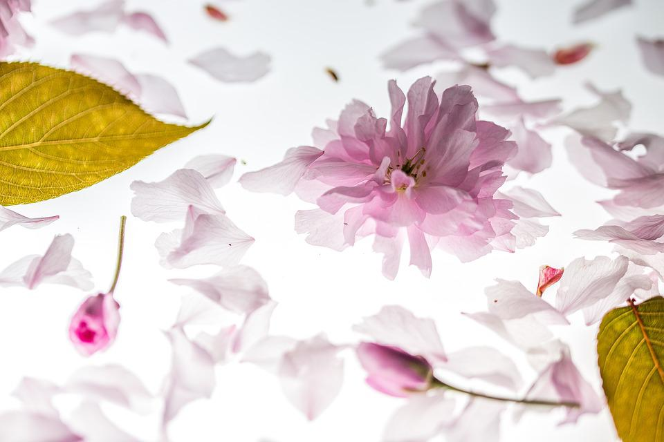 Petals, Japanese Cherry, Leaves, Blossom, Pink, Spring