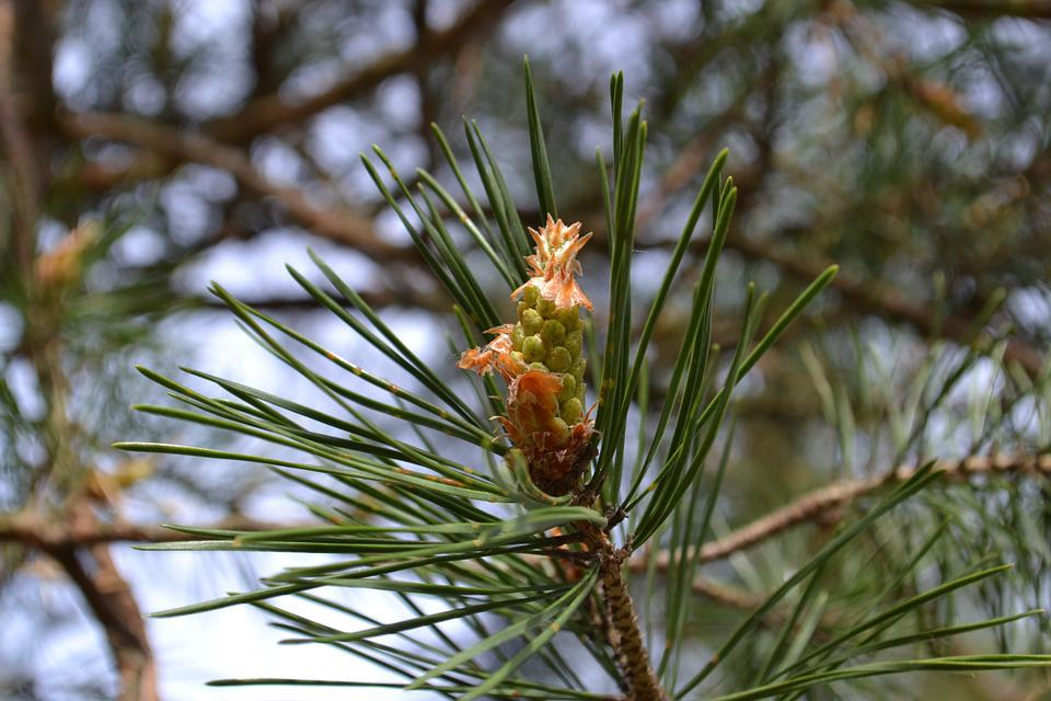 Spring, Forest, Pine