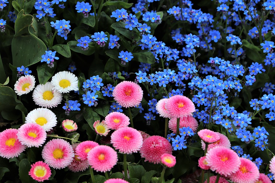 Spring, Pink And White Daisy, Bellis Perennis