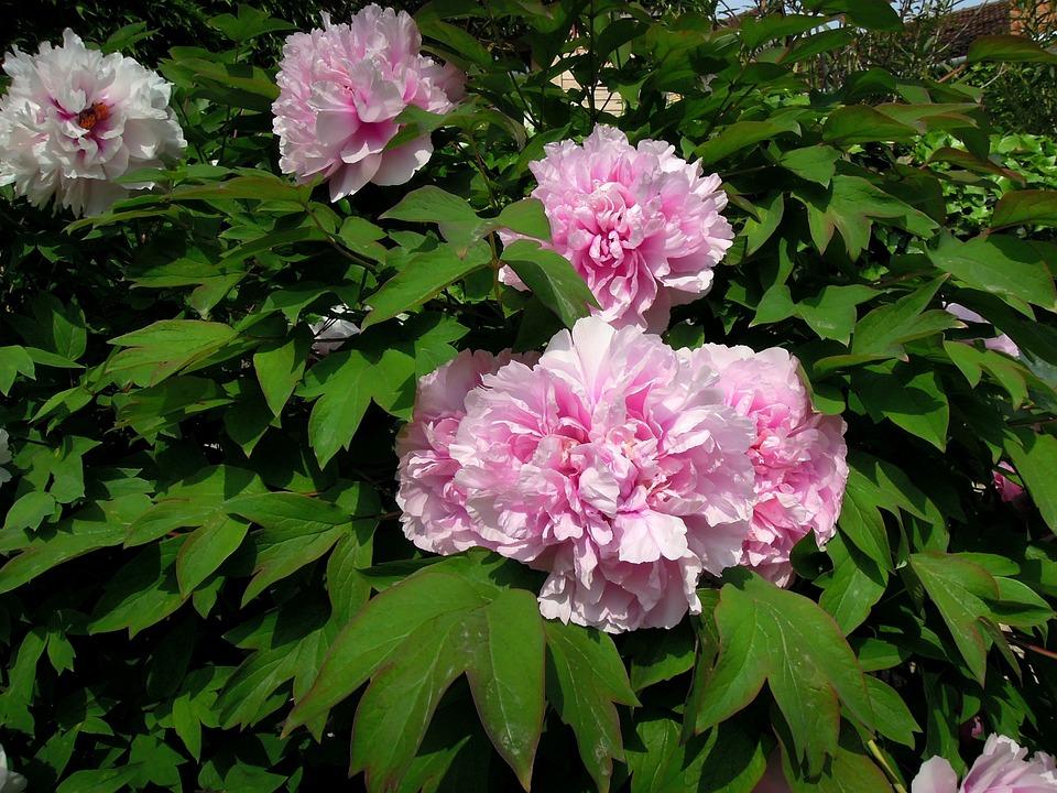Peony, Peónia, Flower, Pink Flower, Pink, Plant, Spring