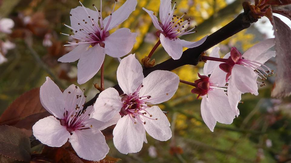 Pink Flower, Blood Plum, Spring, Tender, Red Leaf