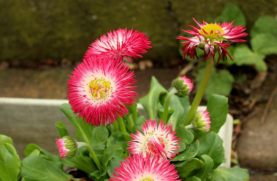 Daisies, Flowers, Pink, Spring, Figure, Plants, Nature