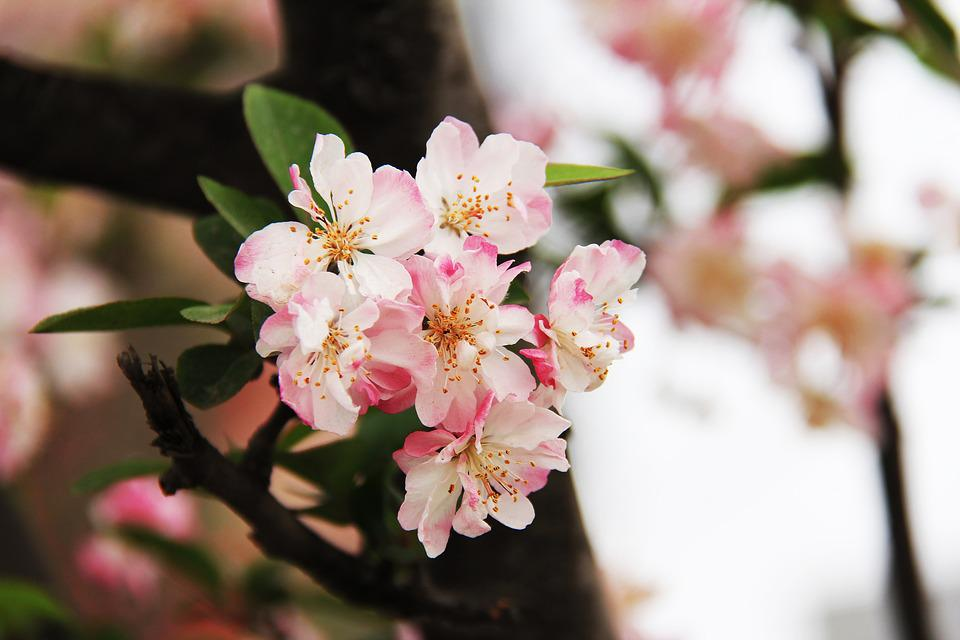 Cherry Blossom, Peony, March, Spring, Pink Red