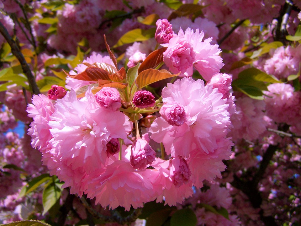 Japanese Ornamental Cherry, Pink-flowered, Spring